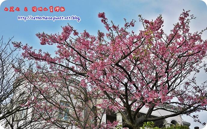 64 平菁街42巷櫻花樹