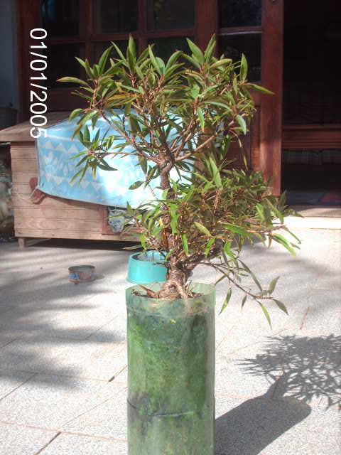 Ficus Nerifolia, Uma raiz de 3 anos... PICT0744