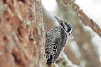 RECULER !!! Pour ne pas être trop près de ce symbole des forêts préservées - Pic tridactyle
