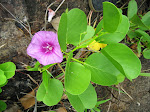 1280px-Beach_Morning_Glory_-_Ipomoea_pes-caprae.jpg