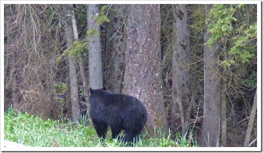 Black Bear, Kootenay National Park