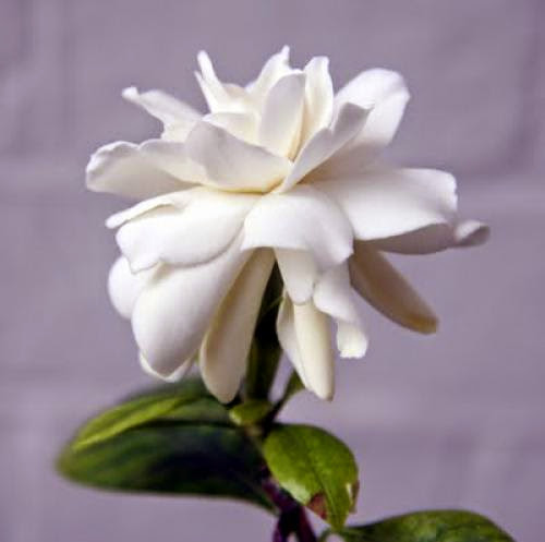 Gardenia Folklore And Flower Symbolism
