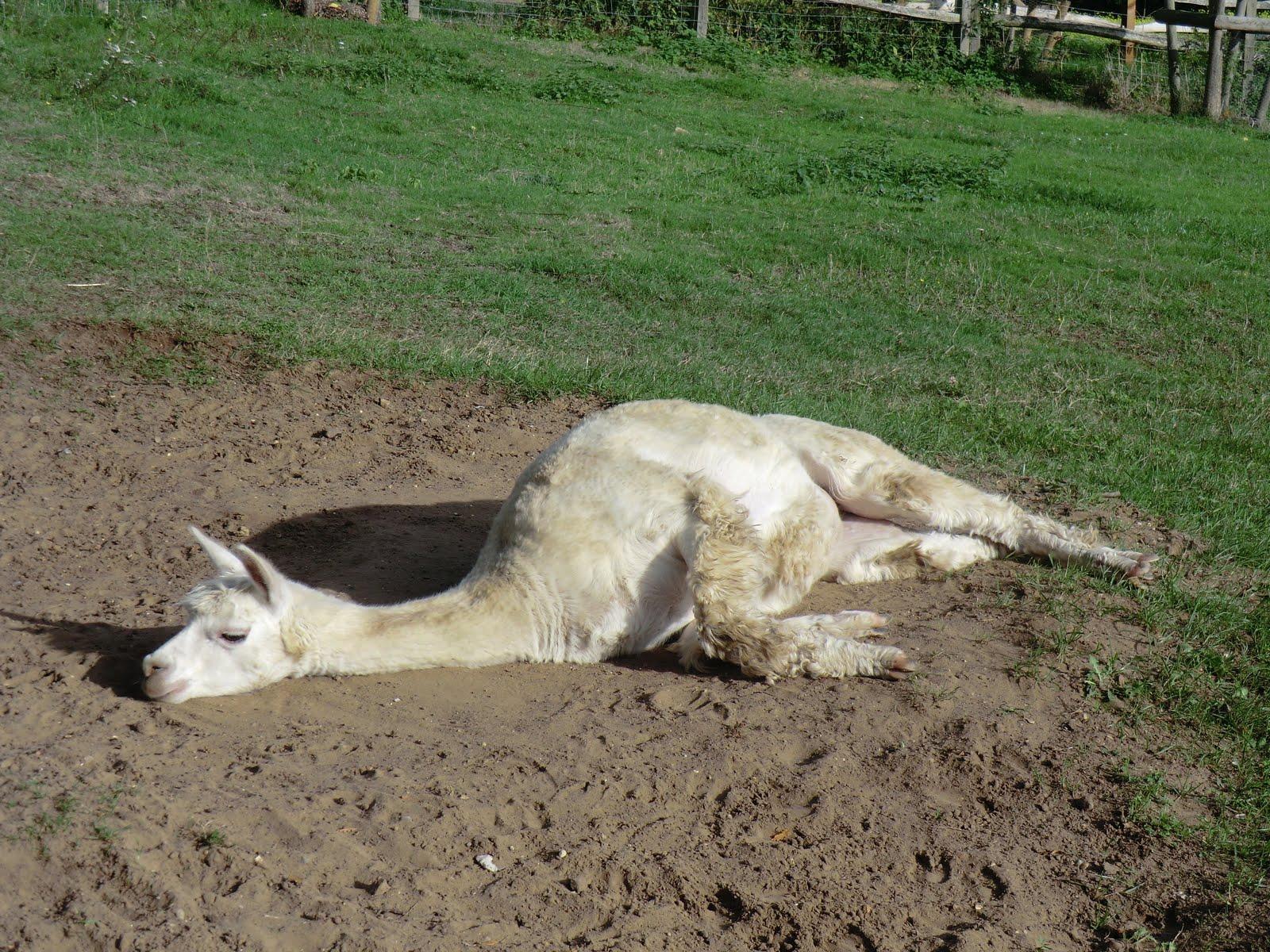 CIMG8770 Dozy alpaca at Chilworth Manor