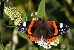 Admiral på hvid sommerfuglebusk.jpg