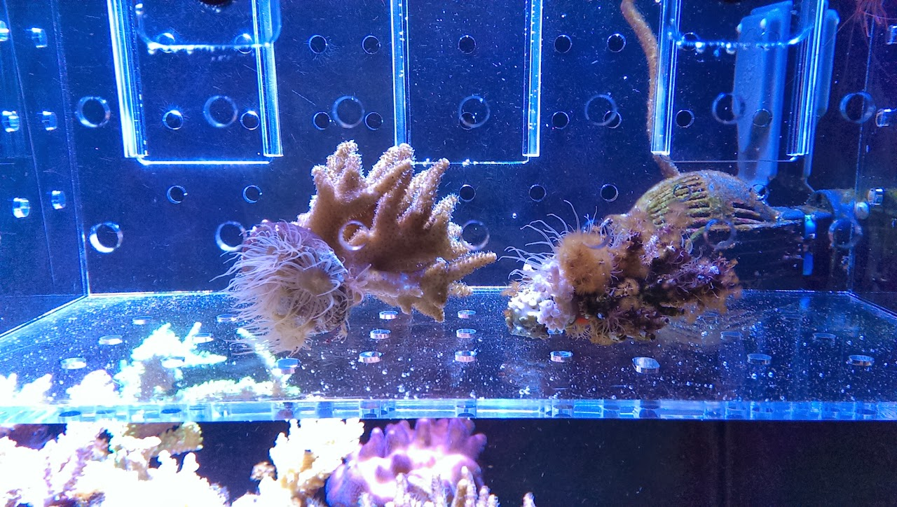 how to get rid of aiptasia in saltwater tank