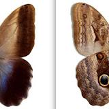 Caligo oedipus oedipus ♂ Colombie : Yeconi, 3-X-45 [MGCL]. http://butterfliesofamerica.com/L/imagehtmls/Nymph/Caligo_oedipus_oedipus_M_COL_Yeconi_3-X-45-MGCL-0051_i.htm