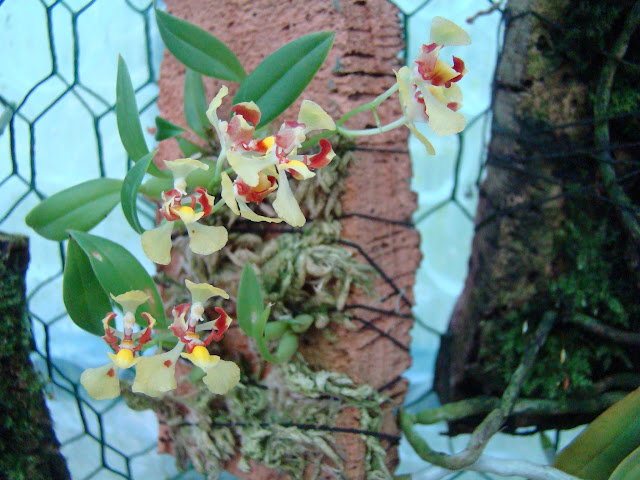 Oncidium coloratum DSC09754