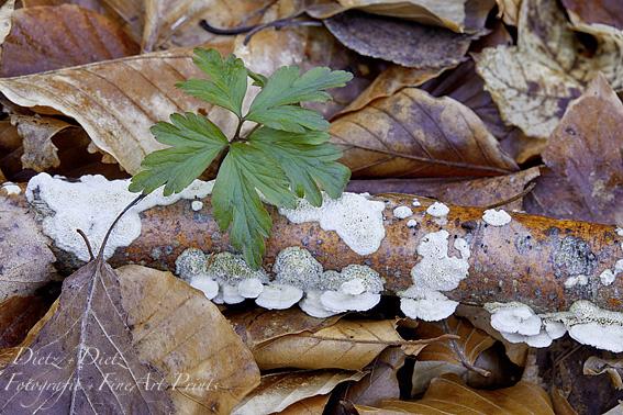 Gemeiner Lederfältling (Byssomerulius corium / Meruliopsis corium)