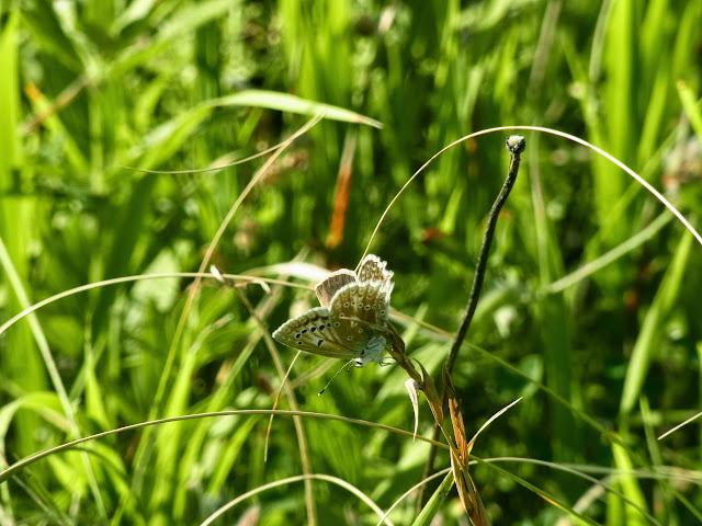Polyommatus daphnis (Denis & Schiffermüller, 1775), femelle. Colline vers 900m, Kislovosk (kraï de Stavropol), 17 août 2014. Photo : J. Michel