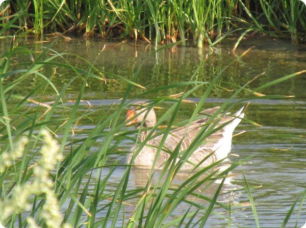 IMG_8551 Domestic Greylag Goose Bird