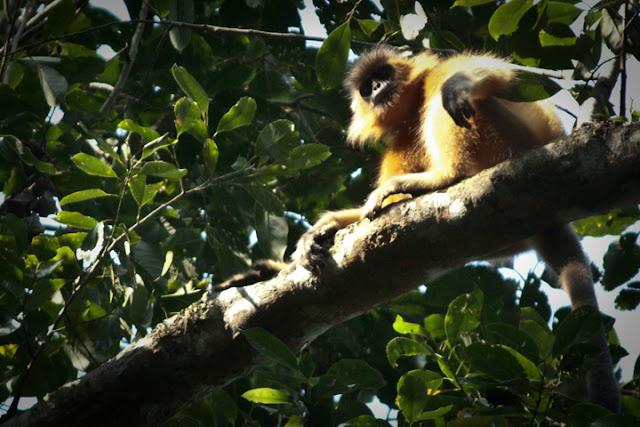 Primate on Lawachhara National Park. ©Photo Credit: Faisal Akram