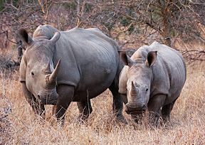 Rhino Mother and Juvenile, South Africa