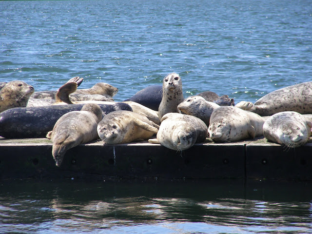 Harbor seals sunning themselves as seen from a Plover Ferry ride in Blaine. / Credit: Bellingham Whatcom County Tourism