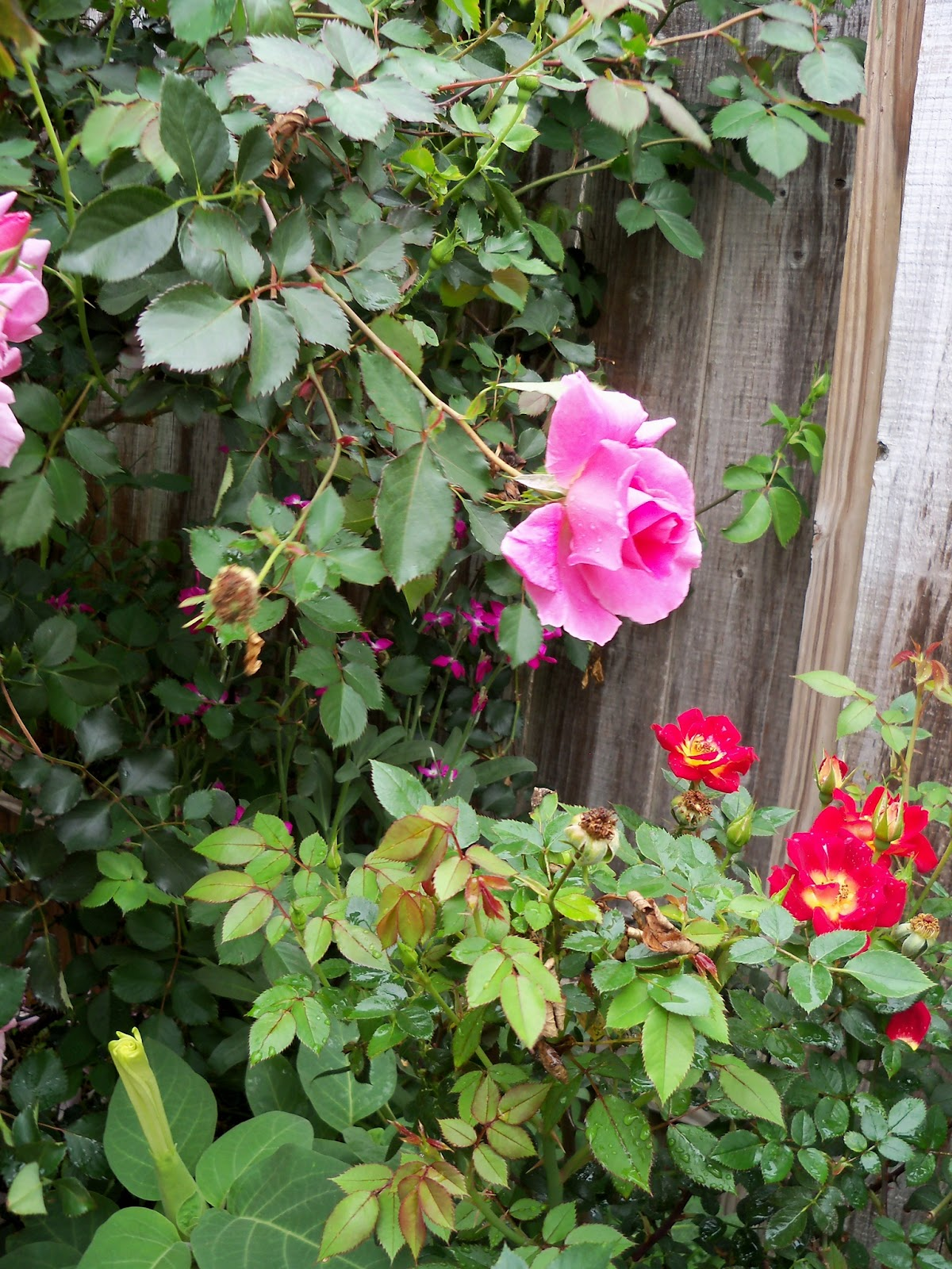 Gardening 2012 - 115_1360.JPG
