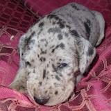 Giambattista family's blue merle girl @ 3 weeks