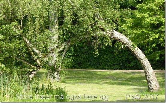 Store træer må også bøje sig