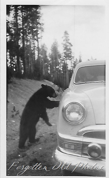 Chevy and a bear DL ant