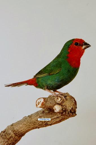 Roodkop Papegaaiamadine man