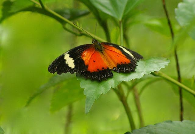 Cethosia hypsea hypsea DOUBLEDAY, 1847, mâle. Poring (Sabah, Malaisie), 31 juillet 2011. Photo : J.-M. Gayman