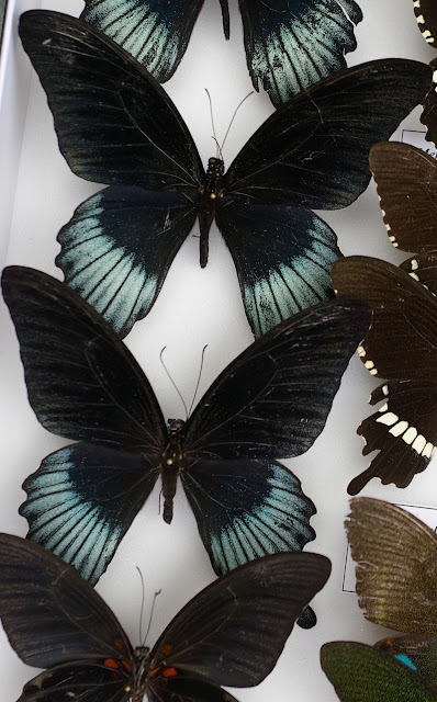 Papilio (Menelaides) memnon lowii DRUCE, 1873. Chutes de Pamoayan, Palawan, 17 août 2005. Photo : J.-M. Gayman