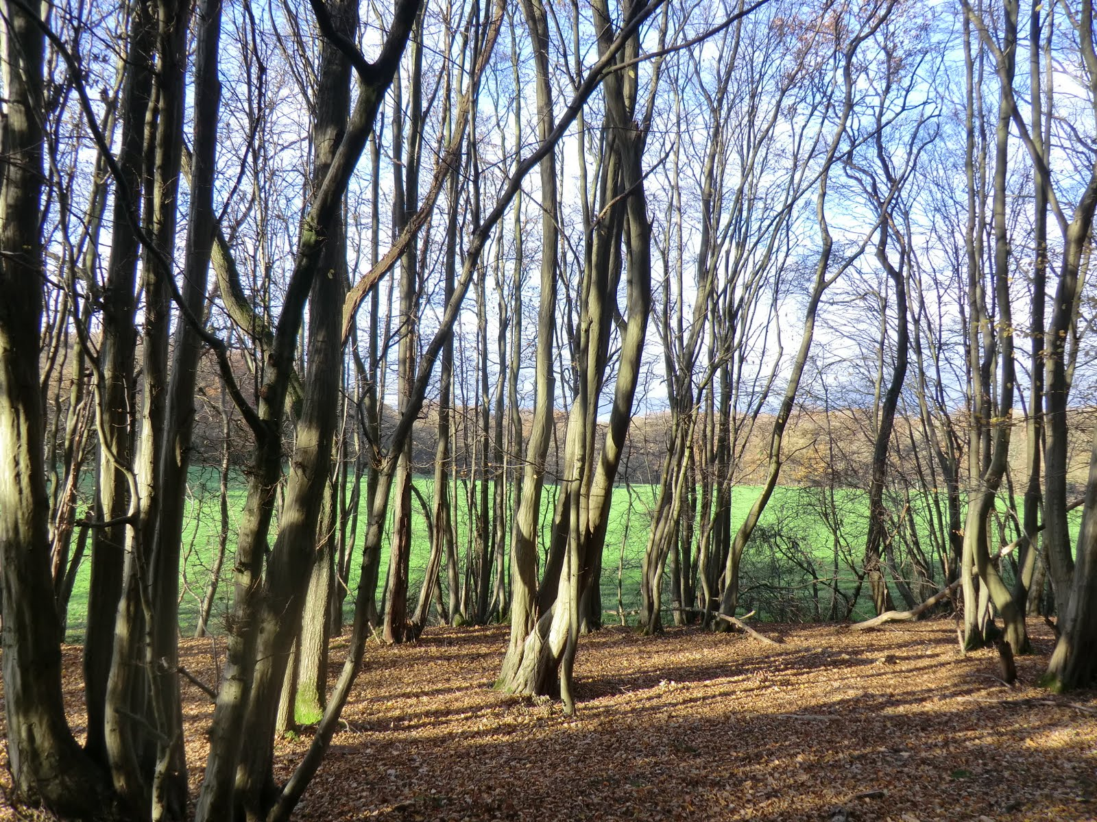 CIMG9725 Hornbeams in Staffhurst Wood