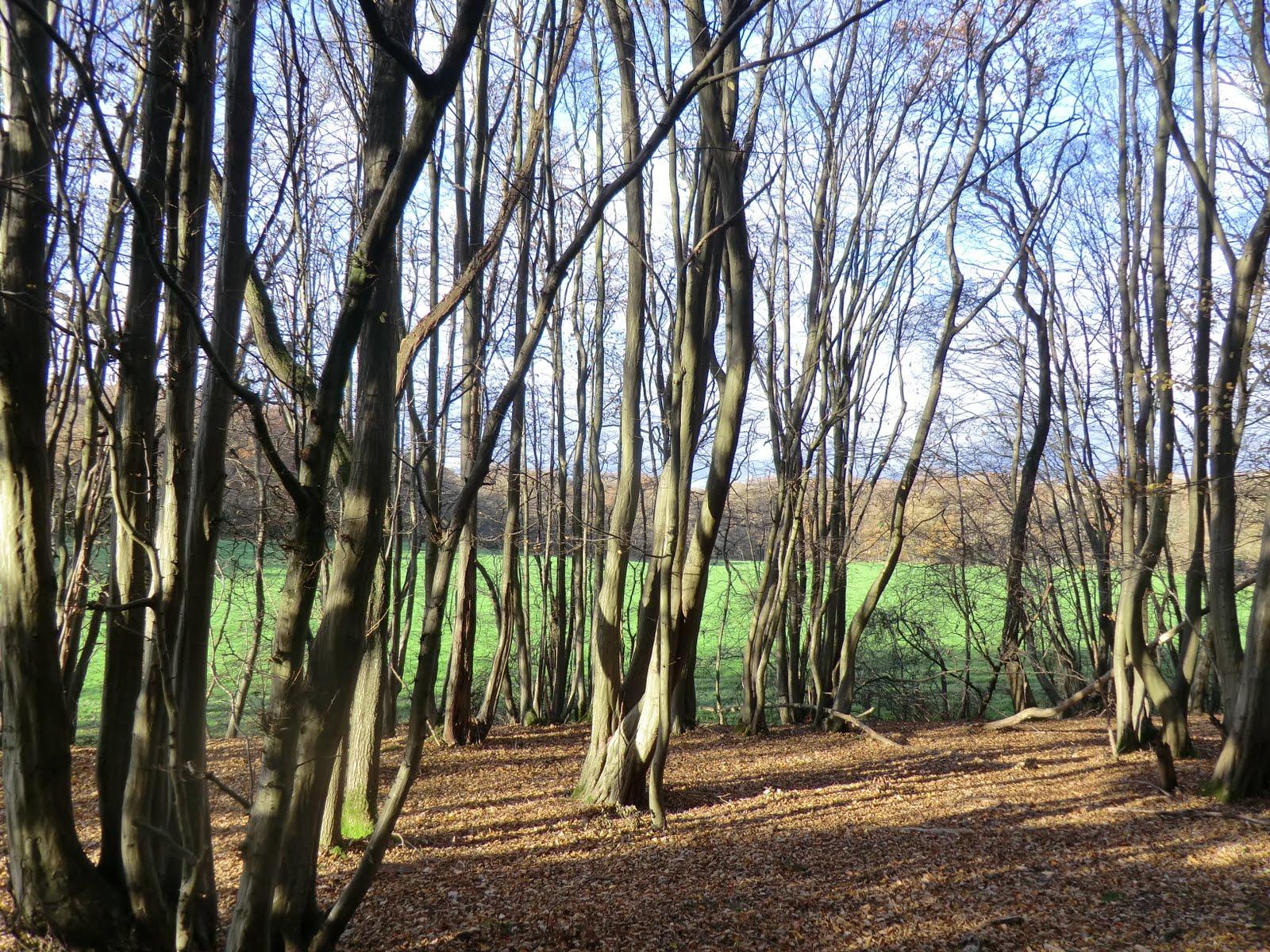 CIMG9725 Hornbeams in Staffhurst Wood