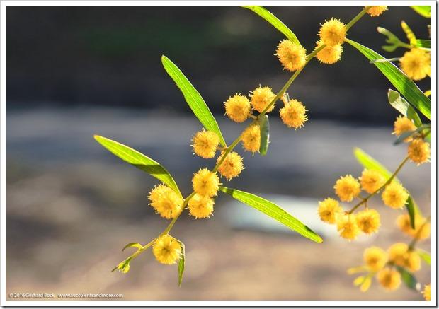 160215_UCDA_AcaciaGrove_Acacia-verniciflua_003