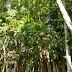 Jual Bibit Pohon Penghijauan Sosis Kunto Bimo