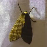 Pachydota albiceps (Walker, 1856). Mount Totumas, 1900 m (Chiriquí, Panamá), 23 octobre 2014. Photo : J.-M. Gayman