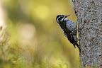 TRIDA   L'un des oiseaux les plus rares du Pays !