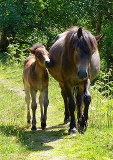 Exmoor Ponies, Dunkery