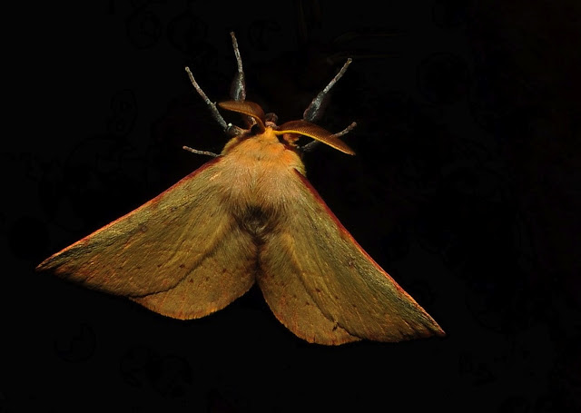 Probablement : Geometridae : Ennominae : Nacophorini : Fisera halurga TURNER, 1919. Umina Beach (NSW, Australie), 21 octobre 2011. Photo : Barbara Kedzierski