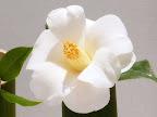 純白 八重蓮華咲き 細弁 筒しべ 中輪