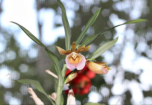 Galeandra leptoceras и другие виды IMG_1438