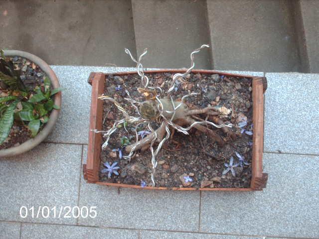 Ficus Microcarpa var. Indica... PICT1620