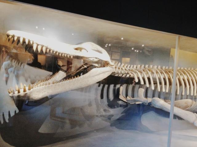Fossil, Harvard Museum of Natural History, Kronosaurus