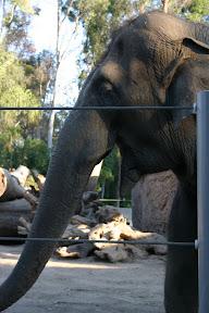 Elephant, San Diego Zoo