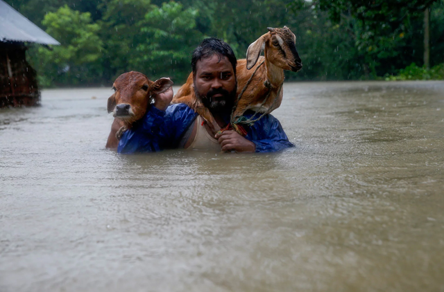 A man wades through -chest-deep floodwaters, carrying his cattle on his shoulder, as he moves to safer ground at Topa village in Saptari district, Nepal, 16 August 2017. Photo: Narendra Shrestha / EPA