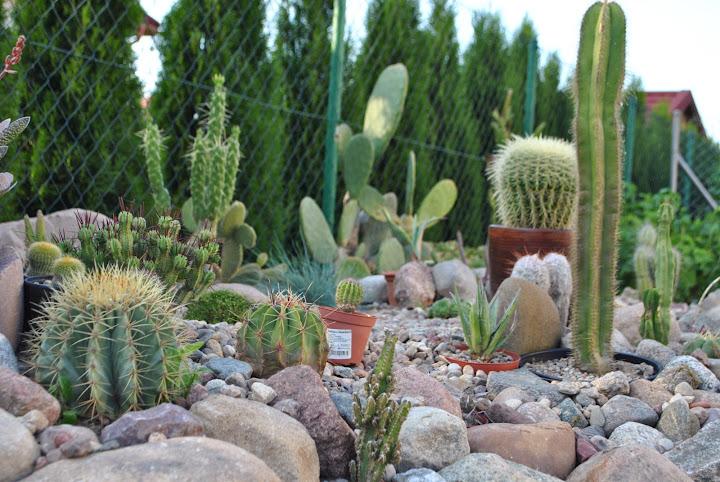 Zobacz Temat Kaktusy Sukulenty