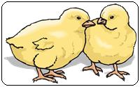 คำศัพท์ภาษาอังกฤษลูกไก่