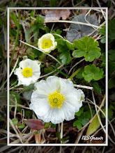 Photo: Renoncule alpestre, Ranunculus alpestris