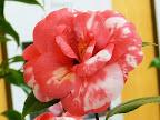 紅色地 白斑入り 八重 蓮華咲き 小さめの筒〜割りしべ 大輪