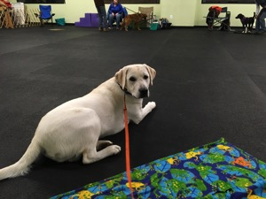 A white Labrador Retriever lays on the training floor