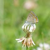 Polyommatus icarus icarus (ROTTEMBURG, 1775), femelle. Les Hautes-Lisières (Rouvres, 28), 21 août 2012. Photo : J.-M. Gayman