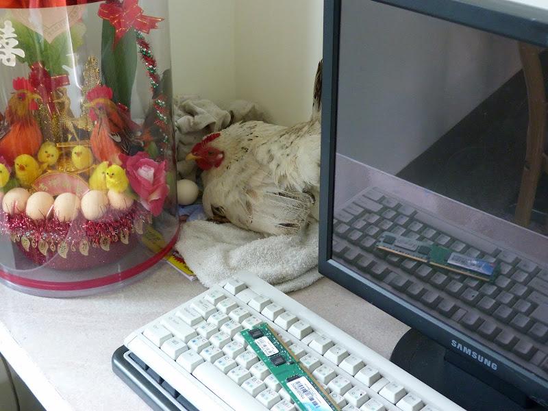 Dans le GH de Meinong, la poule, Japonaise, a trouvé son coin