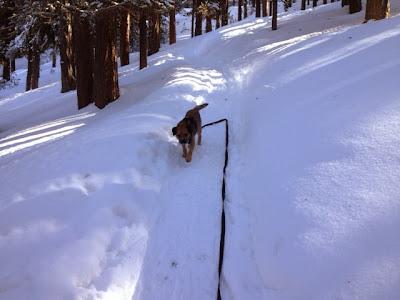 Border Terrier Charly schaut nach dem Herrchen auf der Schneeschuhtour.