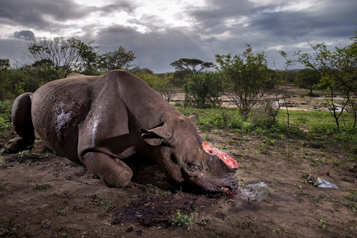 HLUHLUWE UMFOLOZI GAME RESERVE, KWAZULU NATAL, SOUTH AFRICA, 17 MAY 2016: A Black Rhino Bull is seen dead, poached for its horns less than 24 hours earlier at Hluhluwe Umfolozi Game Reserve, South Africa. It is suspected that the killers came from a local community approximately 5 kilometers away, entering the park illegally, shooting the rhino at a water hole with a high-powered, silenced hunting rifle. An autopsy and postmortem carried out by members of the KZN Ezemvelo later revealed that the large calibre bullet went straight through this rhino, causing massive tissue damage. It was noted that he did not die immediately but ran a short distance, fell to his knees and a coup de grace shot was administered to the head from close range. Black Rhino are the most endangered rhino, HluHluwe Umfolozi is one of the last repositories for these animals, with less than 3000 left in the wild today. (Photo by Brent Stirton/Getty Images Reportage for National Geographic Magazine.)