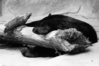 Photo: A sleeping bear uses a log as a body pillow