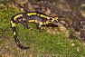 Vuursalamander op groen mos, nachtopname