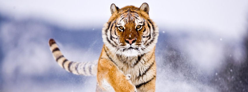 Amur tiger in snow covers